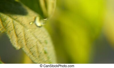 Sparkling drops of rain slide on small leaves of a green...