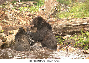 Sparring Grizzly Bears - Two young male Grizzly bears...