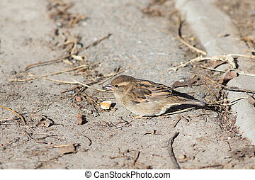 Sparrow and bread