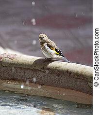 Sparrow bird near the fountain on a hot summer day