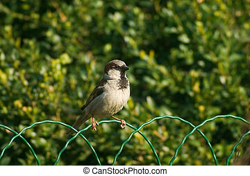 Sparrow bird on the fence