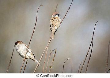 Sparrow birds also known as Passer Montanus