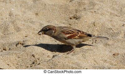 Sparrow birds jumping on the sand. 4K UltraHD video