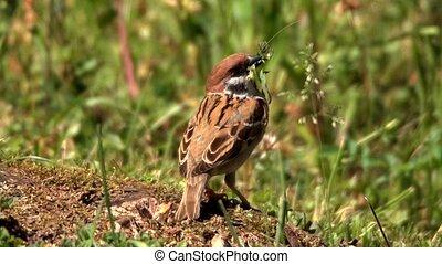 sparrow building nest