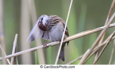 sparrow cleans feathers on the wing, wildlife birds