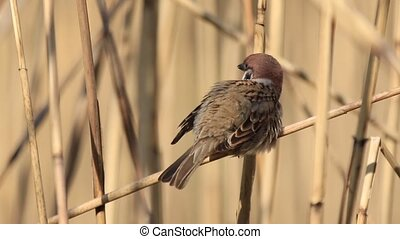 sparrow cleans the feathers on the wing sitting on reed,...
