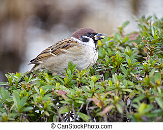 Sparrow (close-up) at Ueno, tokyo