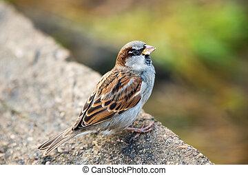 Sparrow eating bread. Small bird wild animals