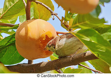 Sparrow Eats Persimmon Fruit Sitting on the Branch
