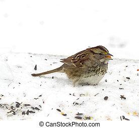 Sparrow feeding on Seeds