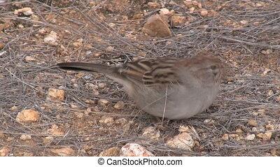 Sparrow Foraging - Sparrow foraging.