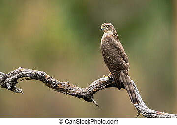 Sparrow hawk female (Accipiter nisus) sitting on a curved branch
