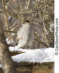 Sparrow hawk sitting on a tree-1.