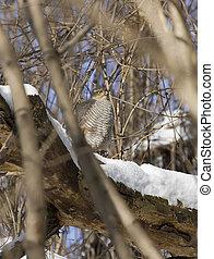 Sparrow hawk sitting on a tree-2.