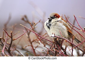 sparrow in a cold winter day