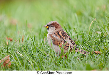 sparrow in a grass
