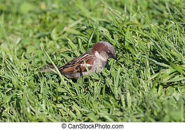 sparrow in a green grass