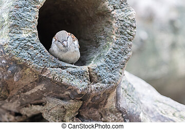 Sparrow in a hollow tree