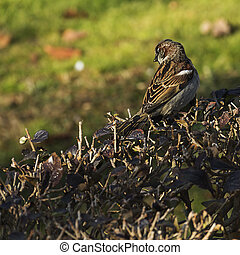 sparrow in autumnal park. (Passer domesticus)