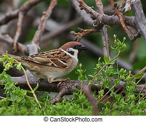 Sparrow in spring, tree sparrow, passer montanus