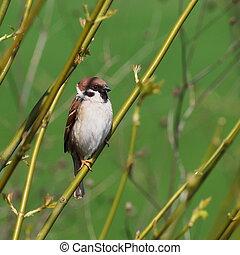 Sparrow in spring, tree sparrow