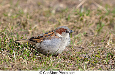 sparrow in the spring grass