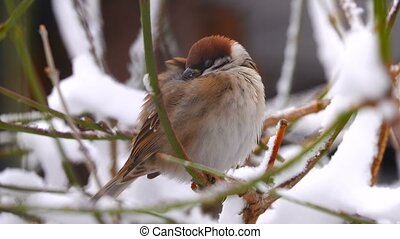 sparrow in the wood in the winter on tree branches