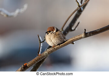 Sparrow in winter day - The bird sparrow sits on a mountain...