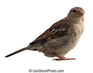 Sparrow isolated