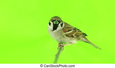 sparrow  isolations on a green  screen