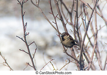 sparrow jumping on a branch, winter, birds are starving