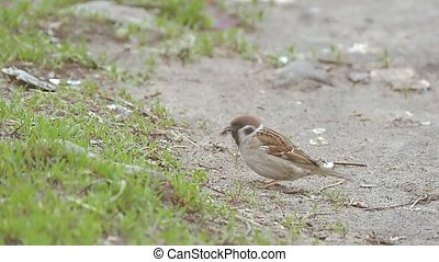 sparrow jumps and pecks leaf slow motion video - Sparrow...
