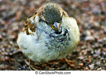 Little yellow-necked Sparrow close-up.