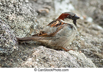 Male house sparrow (Passer domesticus), close up image
