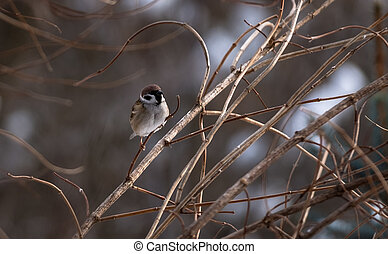 Sparrow on a branch close up in winter