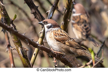 Sparrow on a branch in the spring