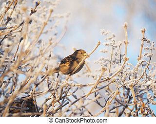 Sparrow on a branch in winter