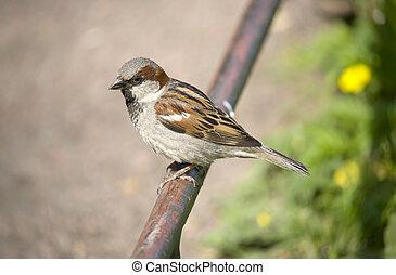 Sparrow on a fencing
