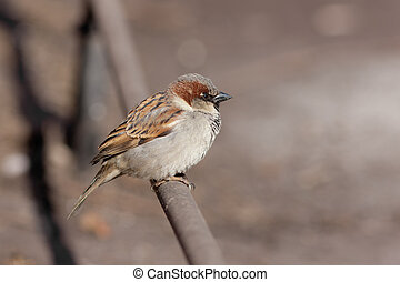 sparrow on a fencing pipe