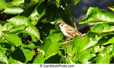 sparrow on a green background in the garden