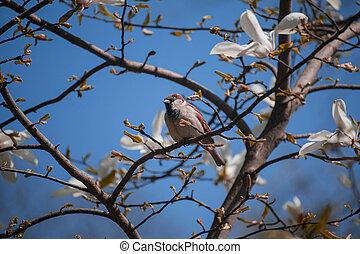 sparrow on a magnolia