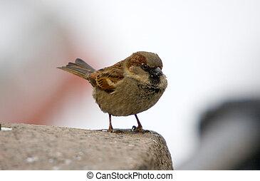 Sparrow on a parapet