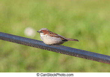 sparrow on a pipe