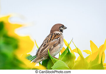 Sparrow on a sunflower