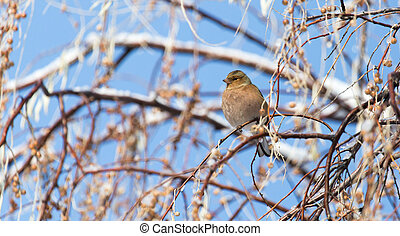 Sparrow on a tree in winter