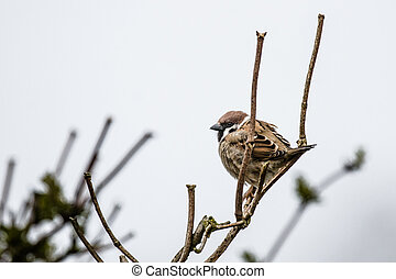 Sparrow on a twig at wintertime