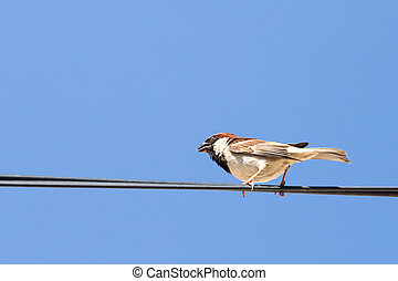 Sparrow on a wire against a blue sky
