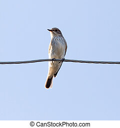 Sparrow on a wire