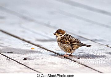 Sparrow on a wooden floor