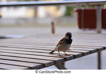 Sparrow on a wooden table